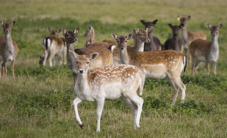 Young deer flock in the meadow photo