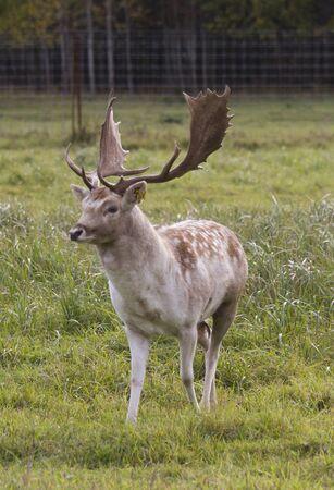 Beautiful deer approaching across the meadow