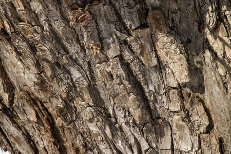 crack willow: Old cracked willow bark texture