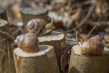 Three Burgundy snails on hazel stumps