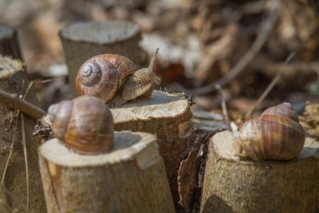 Three Burgundy snails on hazel stumps