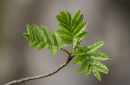Branch with young rowan leaves in spring on natural background Stock Photo - 13572070