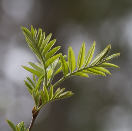 Branch with young rowan leaves in spring on natural background