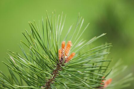 Pine tree blossom on natural background