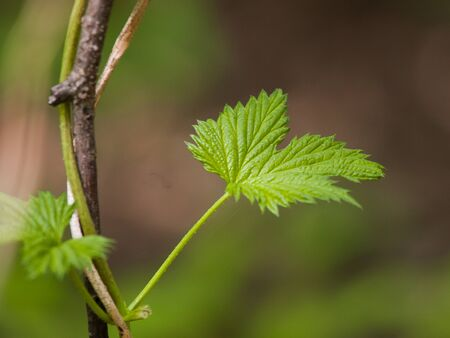 Hop leaf on natural background Stock Photo