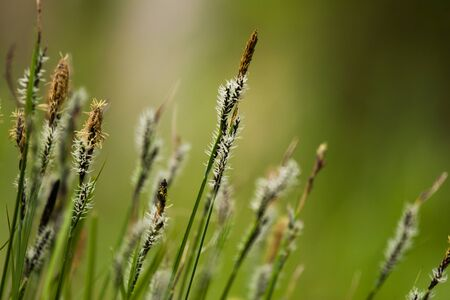 Bent grass on natural background