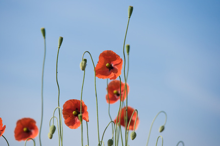 Beautiful red poppies in a meadow
