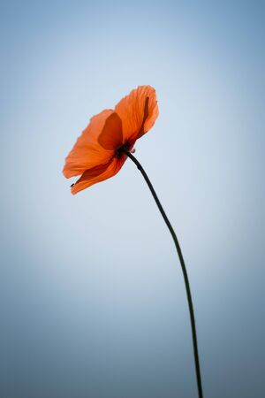 Beautiful red poppy on the blue sky