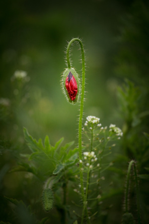 Blossom of the red poppy