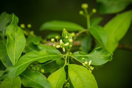 A beautiful vibrant closeup of common spindle tree branch on a natural background in summer