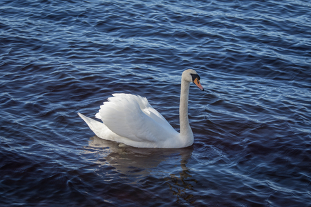 A beautiful portrait of an adult swan swimming in the lake