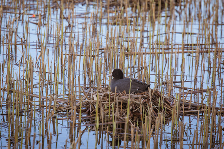 A beautiful portrait of an eurasian coot nesting in the lake