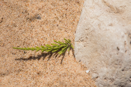 shallow: A beautiful closeup of a sea sand and seaside puzzlegrass. Shallow depth of field.