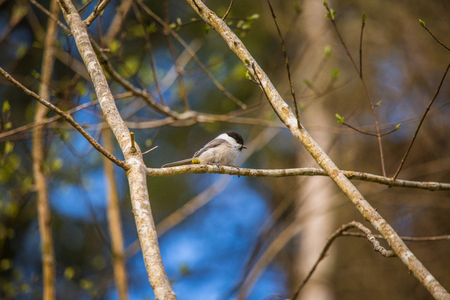 A beautiful small forest tit during nesting season
