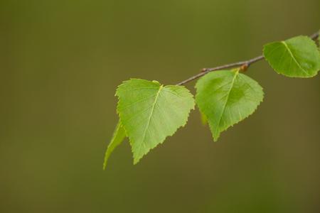 latvia: A beautiful closeup of a birch branches in spring Stock Photo