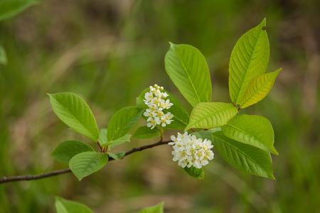 Un primer hermoso de las flores jovenes de la cereza del pájaro en resorte Foto de archivo - 80419215