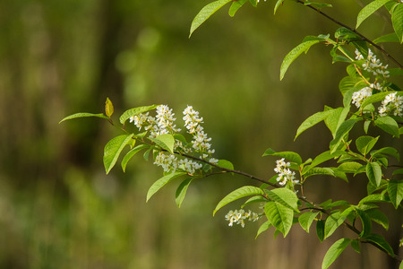 latvia: A beautiful closeup of young bird cherry flowers in spring