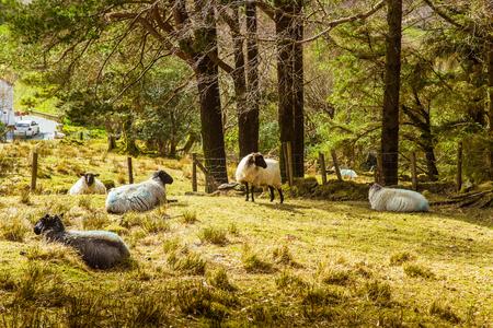 A beautiful irish mountain landscape in spring with sheep. Gleninchaquin park in Ireland. Reklamní fotografie