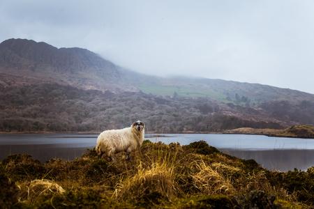 A beautiful irish mountain landscape in spring with sheep. Gleninchaquin park in Ireland. Banco de Imagens