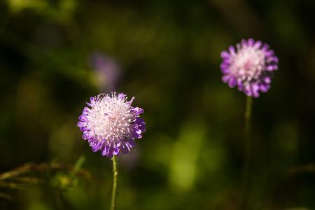 A beautiful purple flower in a sunny meadow in summer