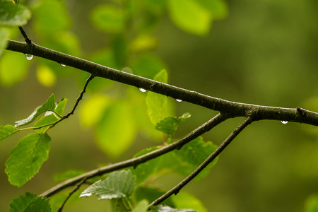A beautiful, tranquil rain drops on a branch of an alder tree in a forest. Fresh, natural look.