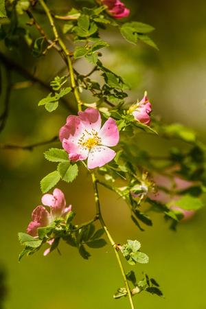 Beautiful wild rose bush blooming in a meadow in summer