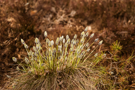 Beautiful hare's-tail cottongrass in a natural habitat in early spring.
