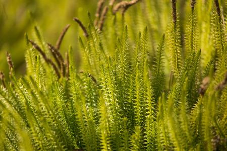 Beautiful, fresh creeping cedars in a natural habitat in early spring. Stock Photo