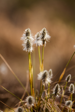 lapin: Beautiful hare's-tail cottongrass in a natural habitat in early spring.