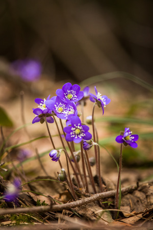 Beautiful blue kidneyworts in a natural habitat in early spring. Stock Photo