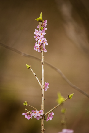 mezereum: Beautiful pink daphne mezereum blossoms in a natural habitat in early spring.