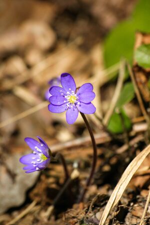 liverwort: Beautiful common hepaticas on a natural background in spring