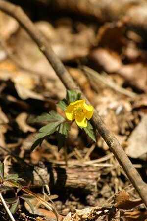 liverwort: Beautiful yellow hepaticas on a natural background in spring