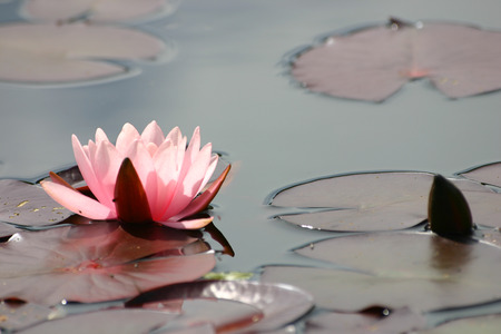 A beautiful pink water lily in a natural habitat.