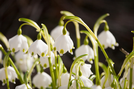 Beautiful snowdrops on a natural background in spring Stock Photo