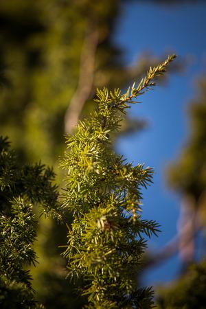 A closeup of a beautiful juniper tree branch
