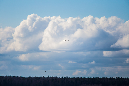 A beautiful  three geese flying on the blue sky and cloud background Stock Photo