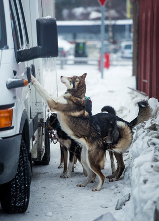 Long distance siberian sled dogs waiting for a race in Norway Stock Photo