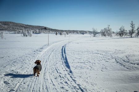 A beautiful brown dachshund dog with a knitted sweater in Norwegian winter scenery