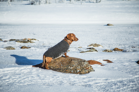 winter road: A beautiful brown dachshund dog with a knitted sweater in Norwegian winter scenery