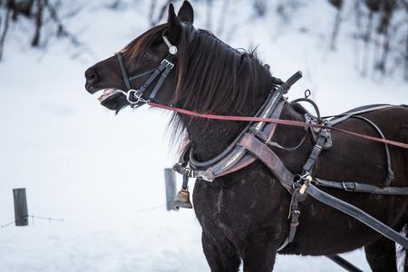 겨울에 썰매를 당기는 아름다운 갈색 말