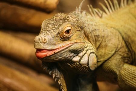 A beautiful close-up of a brown iguana
