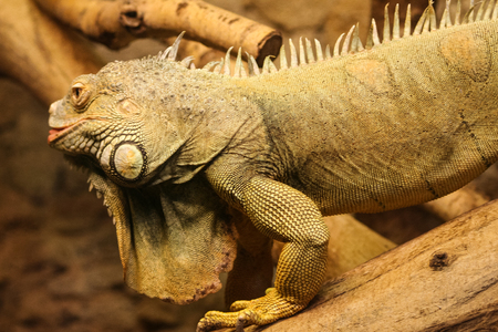A beautiful close-up of a brown iguana