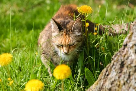 A sleepy orange tabby cat in the meadow at spring