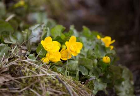 Beautiful yellow  kingcup flowers on a natural background in spring. Mala Fatra mountains in Slovakia Stock Photo