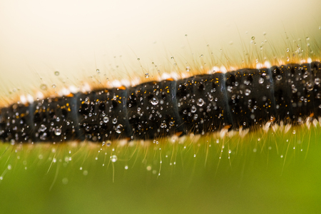 A beautiful brown caterpillar on a branch with small water droplets. Macro shot. Stock Photo