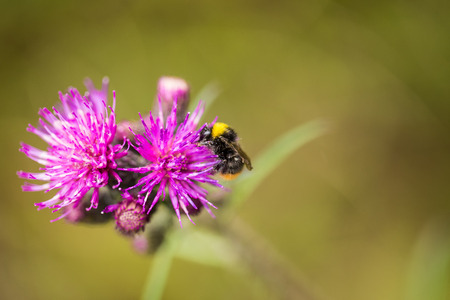 A beautiful wild bumblebee gathering honey from marsh thistle flower. Macro, shallow depth of field photo.