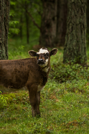 A curious wild cows in a forest. Mother cows with calfs. Grazing in forest. Stock Photo