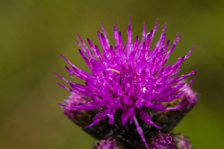 A beautiful vibrant purple thistle flower in a marsh after the rain. Shallow depth of field closeup macro photo.