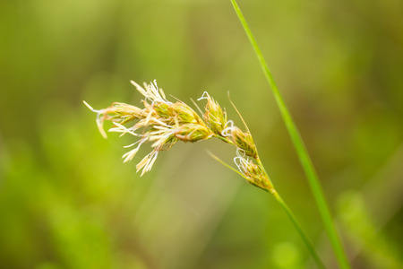 A beautiful sedges growing in a marsh after the rain in summer. Shallow depth of field closeup macro photo. Stock Photo